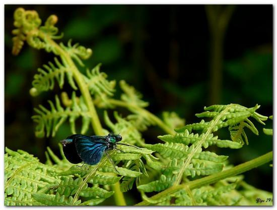 Calopteryx vierge (Calopteryx virgo) ♂