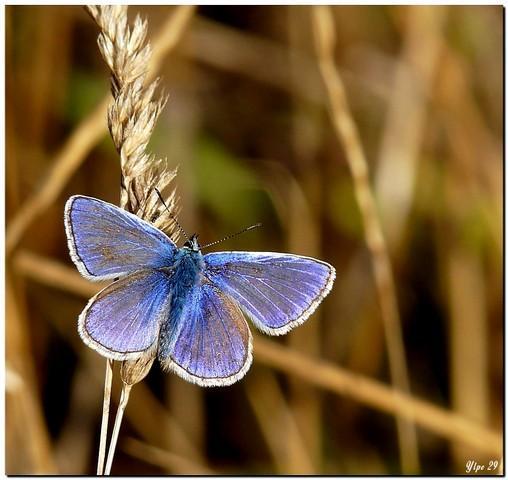 Argus bleu 1