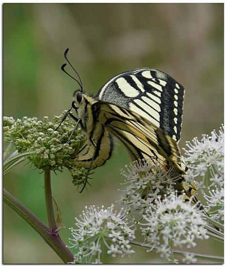 Machaon 4
