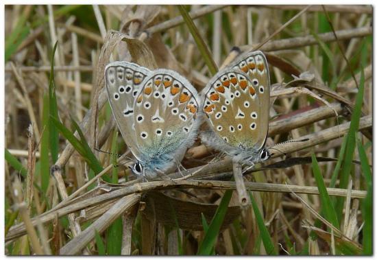 Argus bleu d3