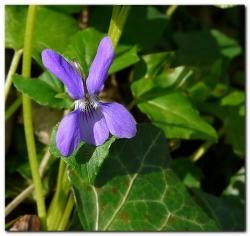 Violette des bois 1