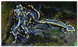 Salamandre 3
