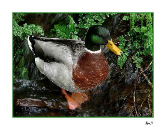 canard colvert1