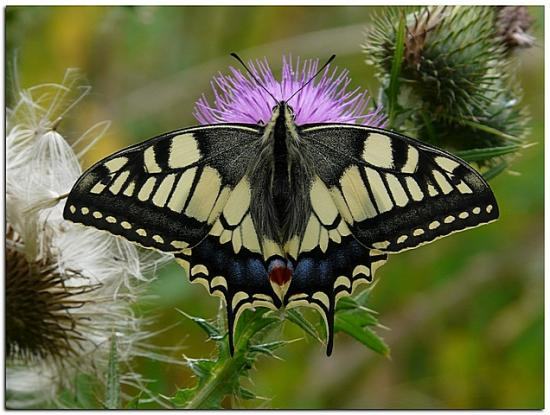 Machaon 3