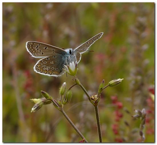 Argus-bleu-ou_-Azure-de-la-Bugrane_-Polyommat2.jpg