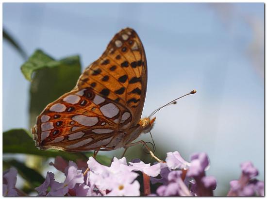 Papillon-ge1.jpg