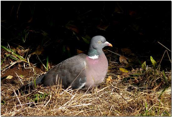 Pigeon-Ramier-lz1.jpg
