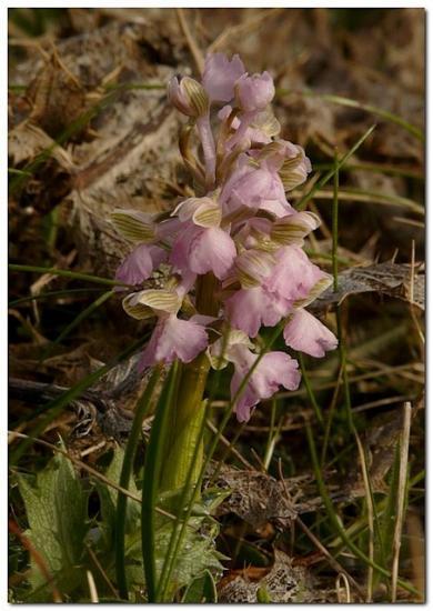 Orchis bouffon 02