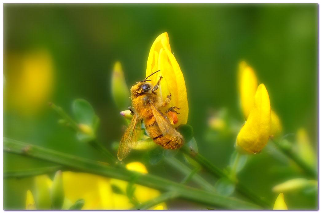 abeille-h1.jpg