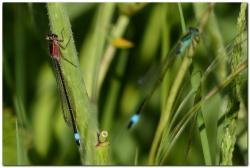 agrion-elegant-ischnura-elegans-k.jpg