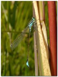 agrion-elegant-ischnura-elegans.jpg