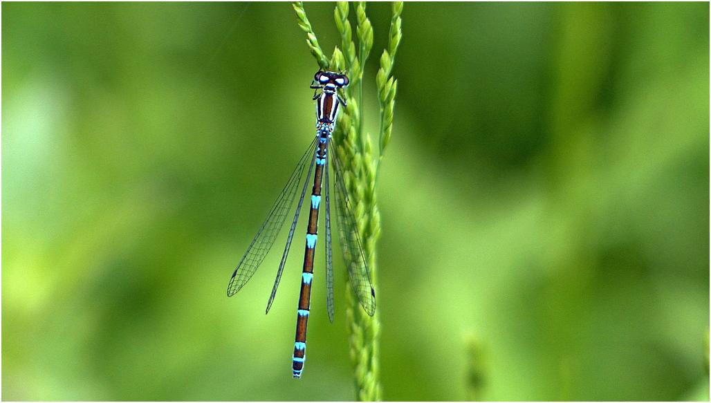 Agrion exclamatif f1