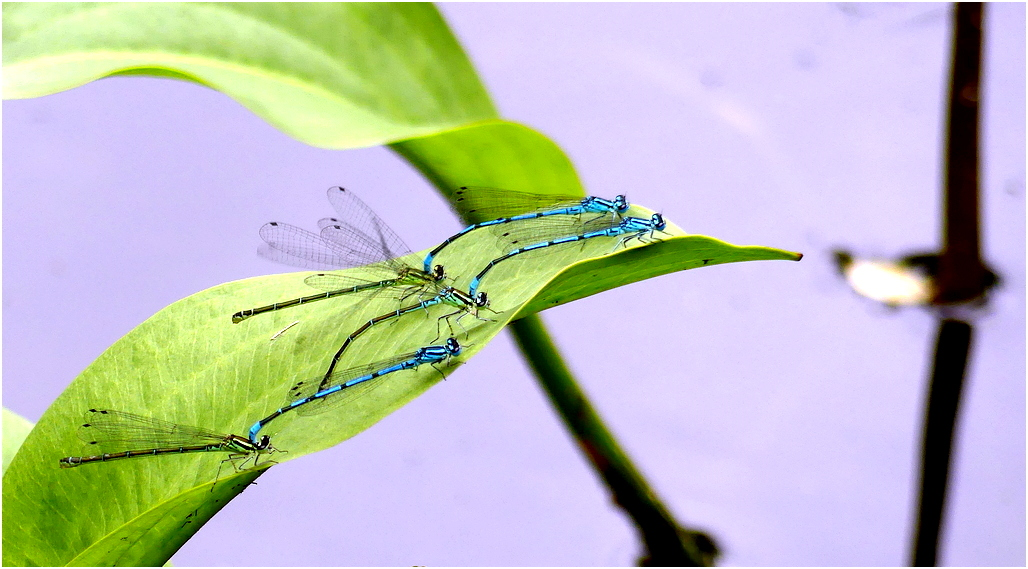 Agrion jouvencelle tf1