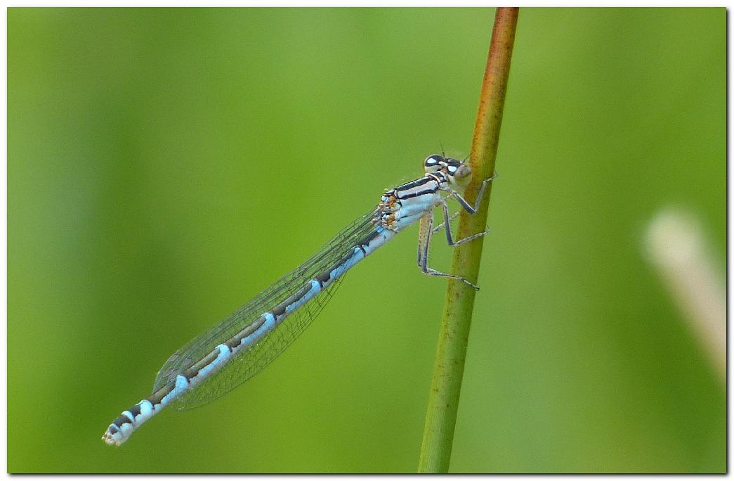Agrion porte coupe femelle bleue j1