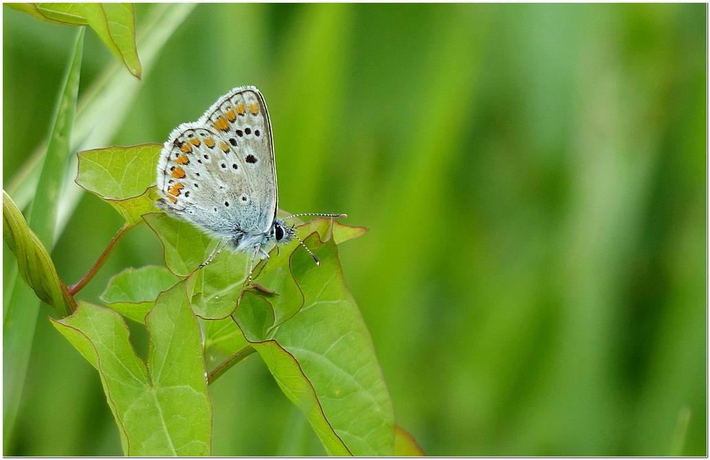 Argus bleu g1