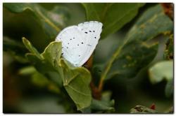 azure-des-Nerpruns-Celastrina-argiolus.jpg