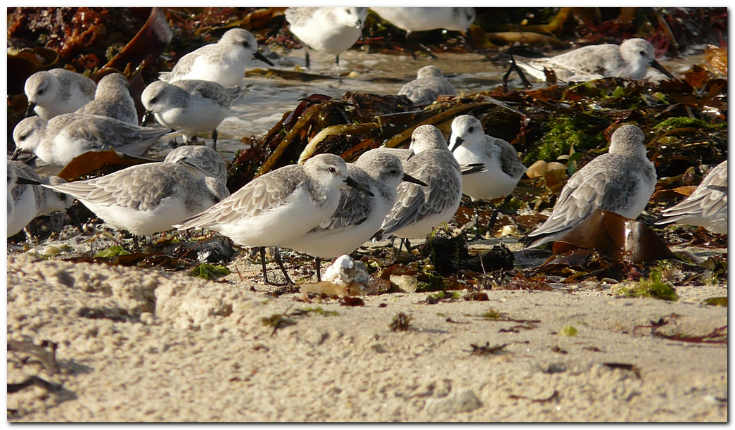 Becasseau sanderling gm1