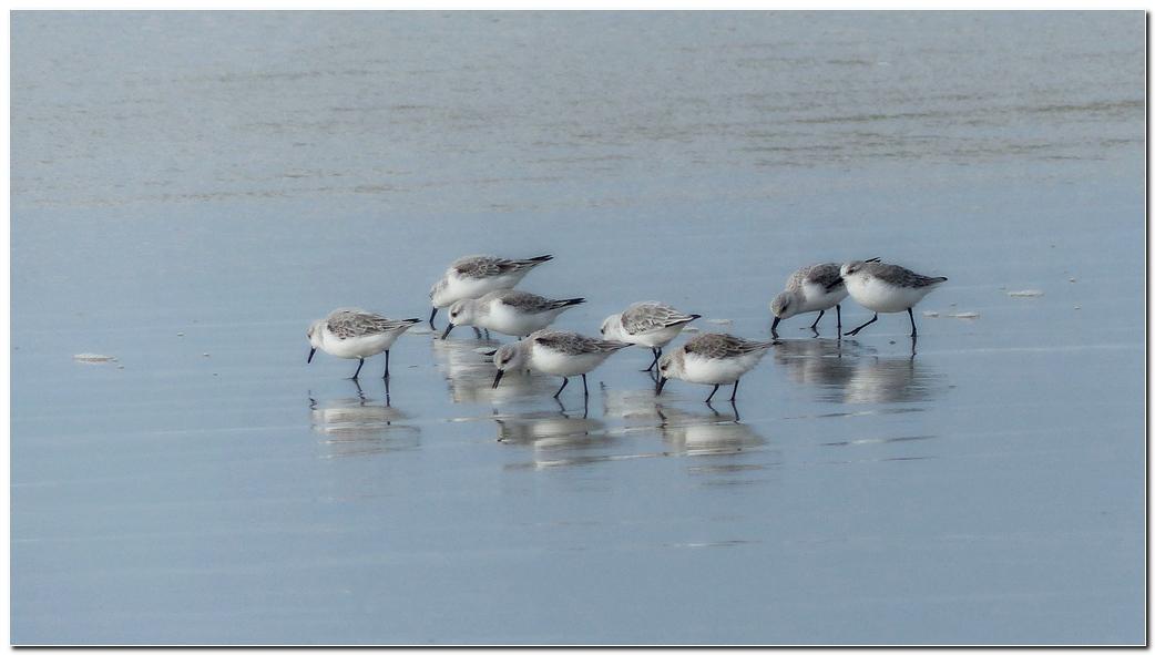 Becasseau sanderling lt3
