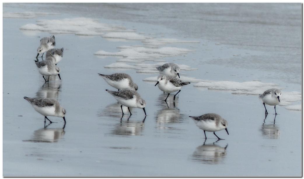 Becasseau sanderling lt4