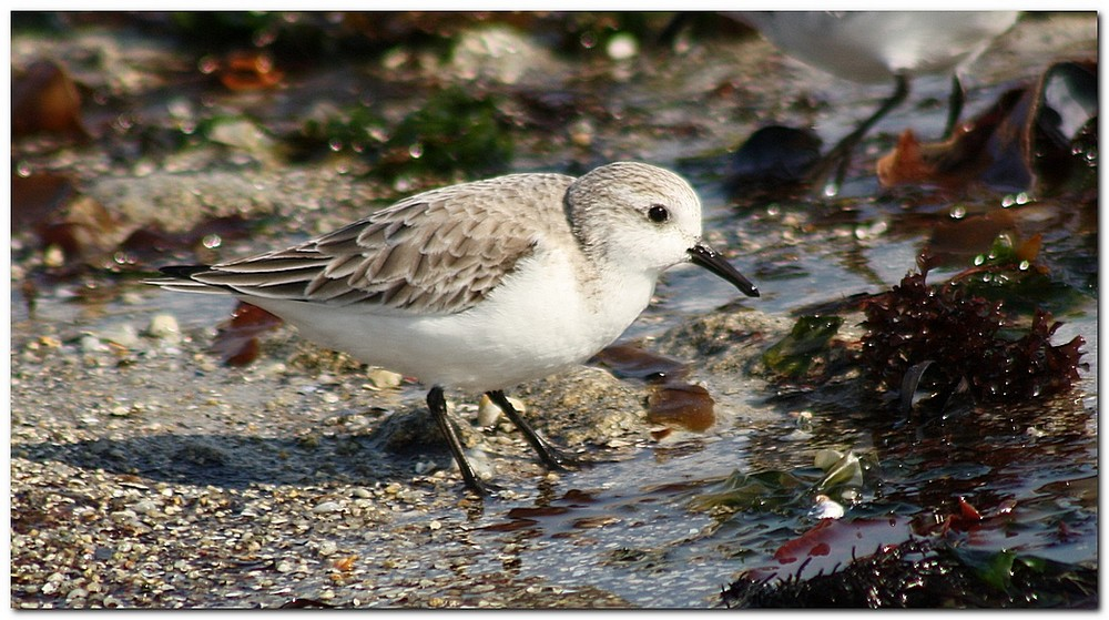 Becasseau sanderling mx6