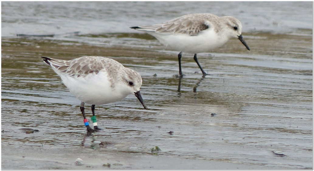 Becasseau sanderling plp3