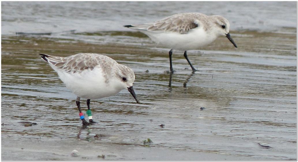 Becasseau sanderling plp3