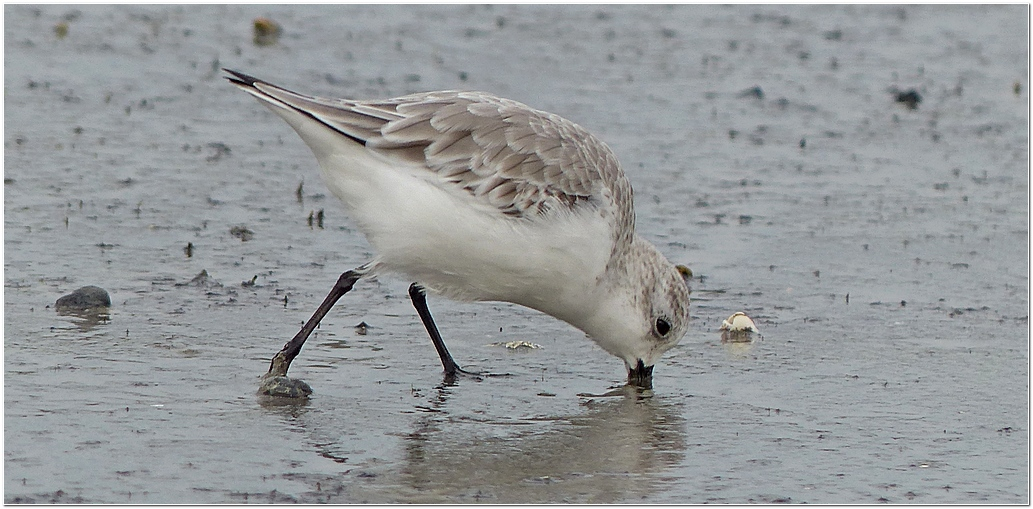 Becasseau sanderling plp5