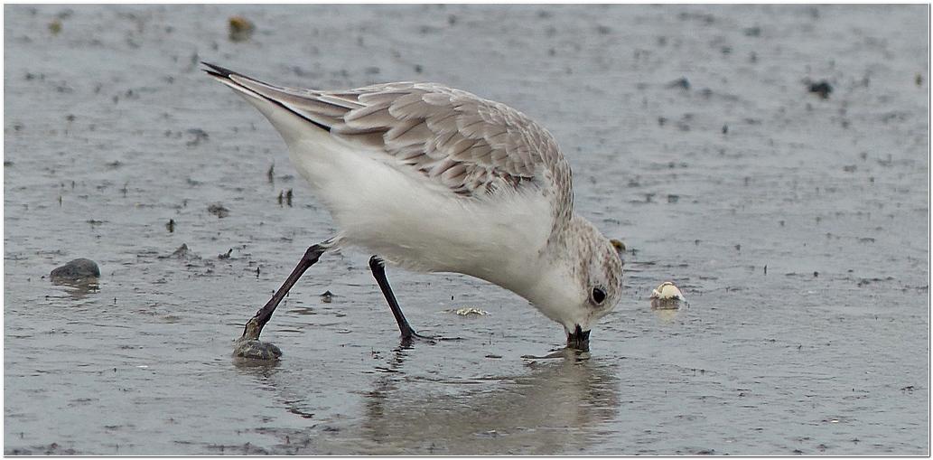 Becasseau sanderling plp5