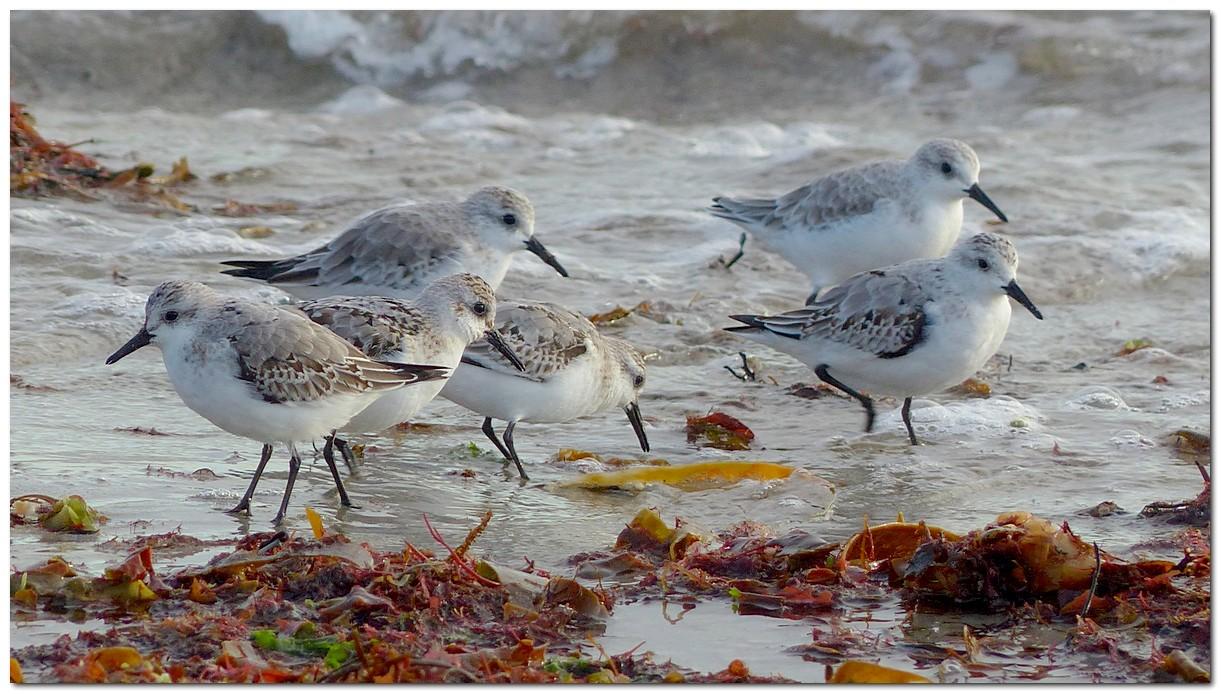 Becasseau sanderling rg1