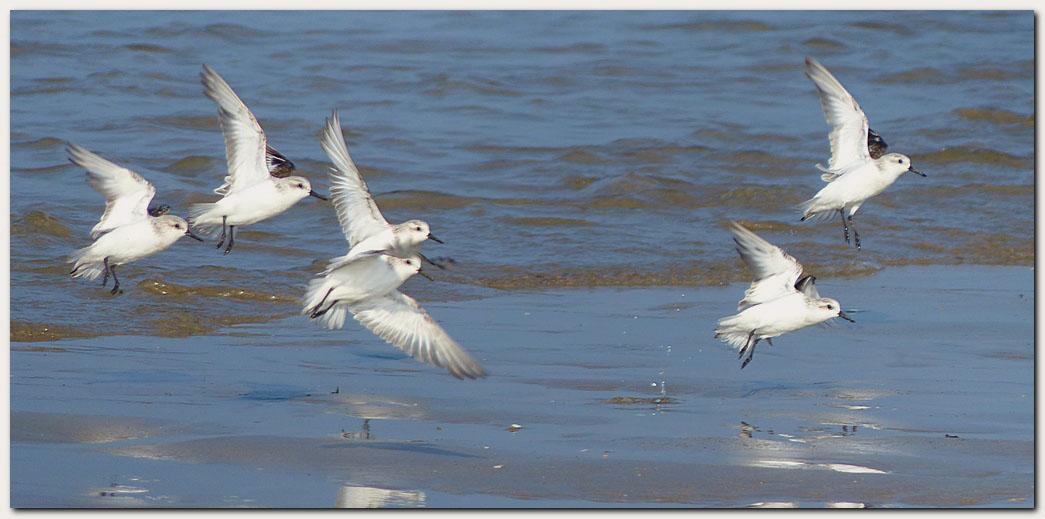 Becasseau sanderling snica1