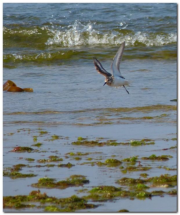 Becasseau sanderling snicb3