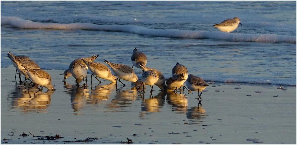 Becasseau sanderling vc2