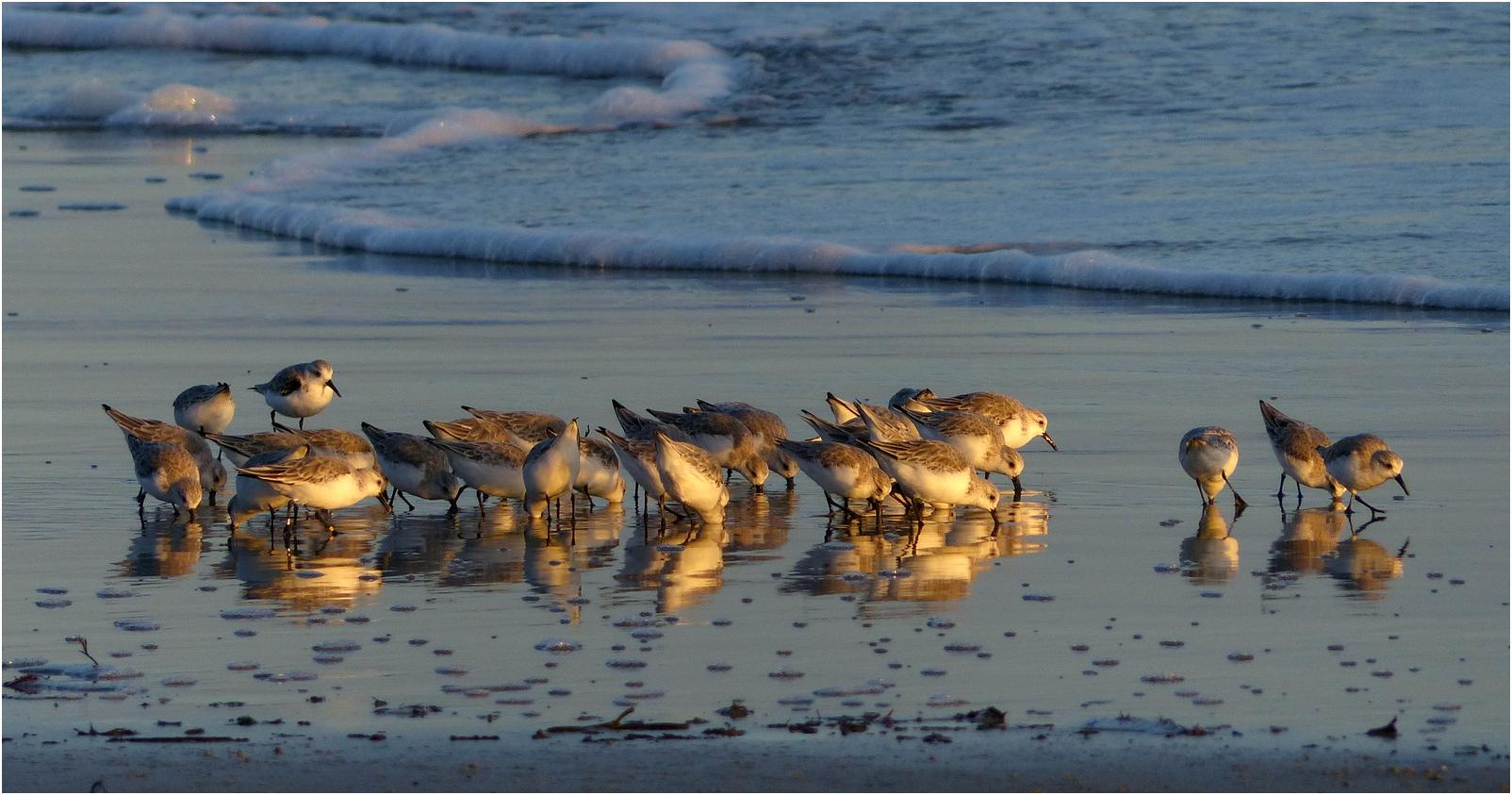 Becasseau sanderling vc3