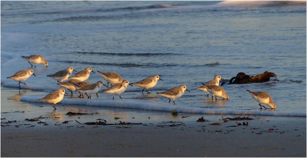 Becasseau sanderling vc5
