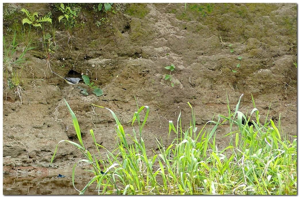 Bergeronnette des ruisseaux po1 1