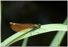 calopteryx-eclatant-24.jpg