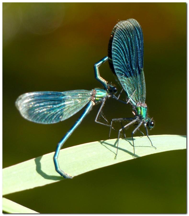 calopteryx-eclatant-c1.jpg