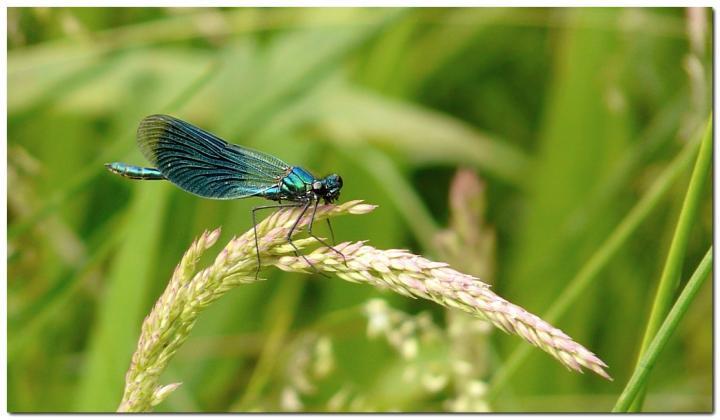 calopteryx-eclatant-h1.jpg