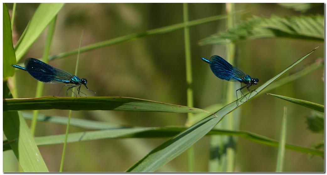Calopteryx eclatant lbn1