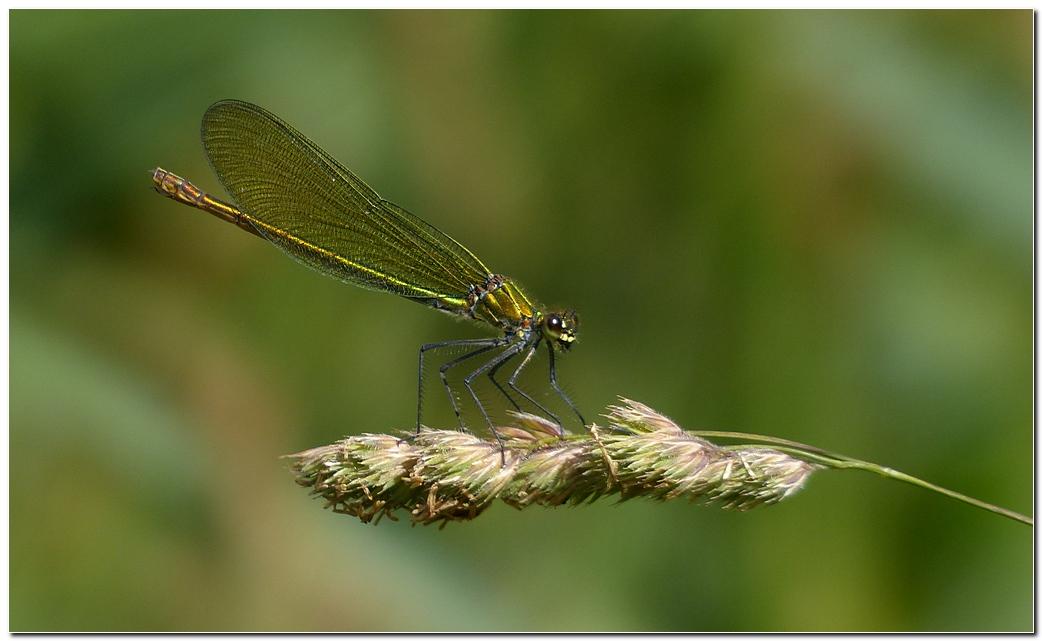 Calopteryx eclatant lbn2