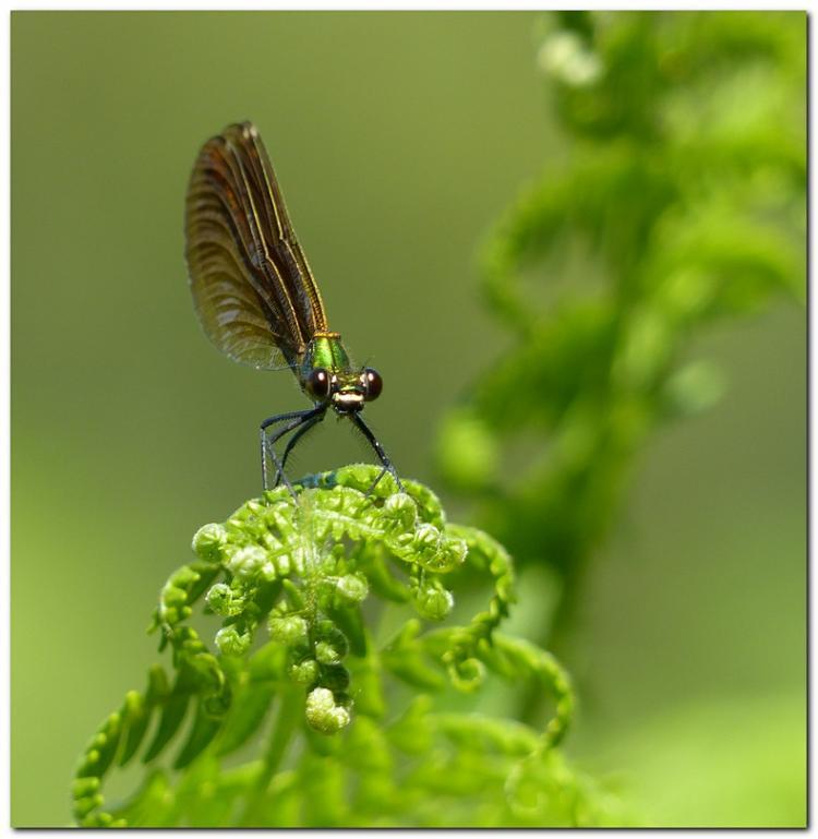 calopteryx-r1.jpg