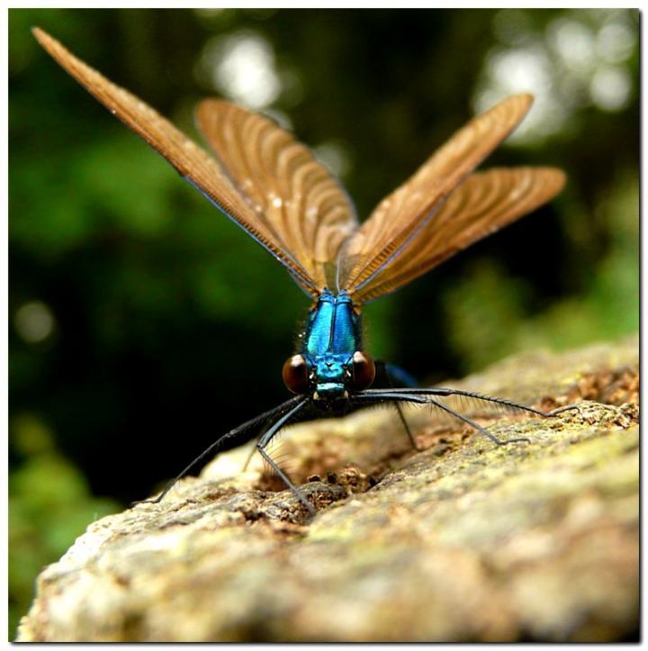 calopteryx-vierge-gh5.jpg
