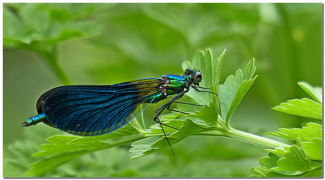 Calopteryx vierge go1
