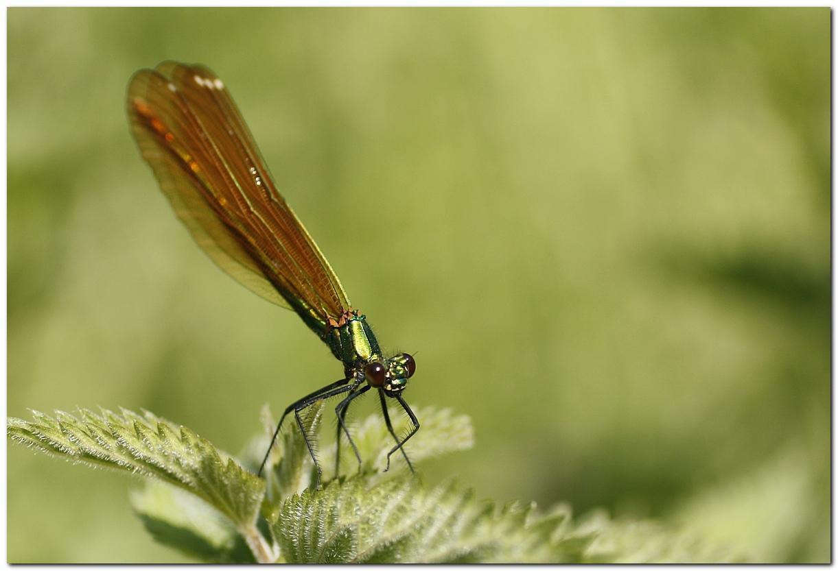 Calopteryx vierge jt1