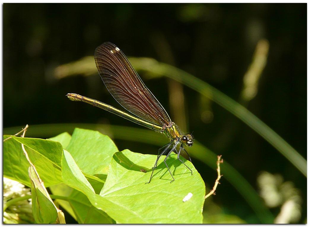 Calopteryx vierge v2