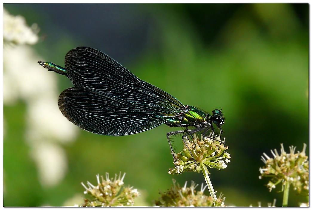 Calopteryx viergejh1