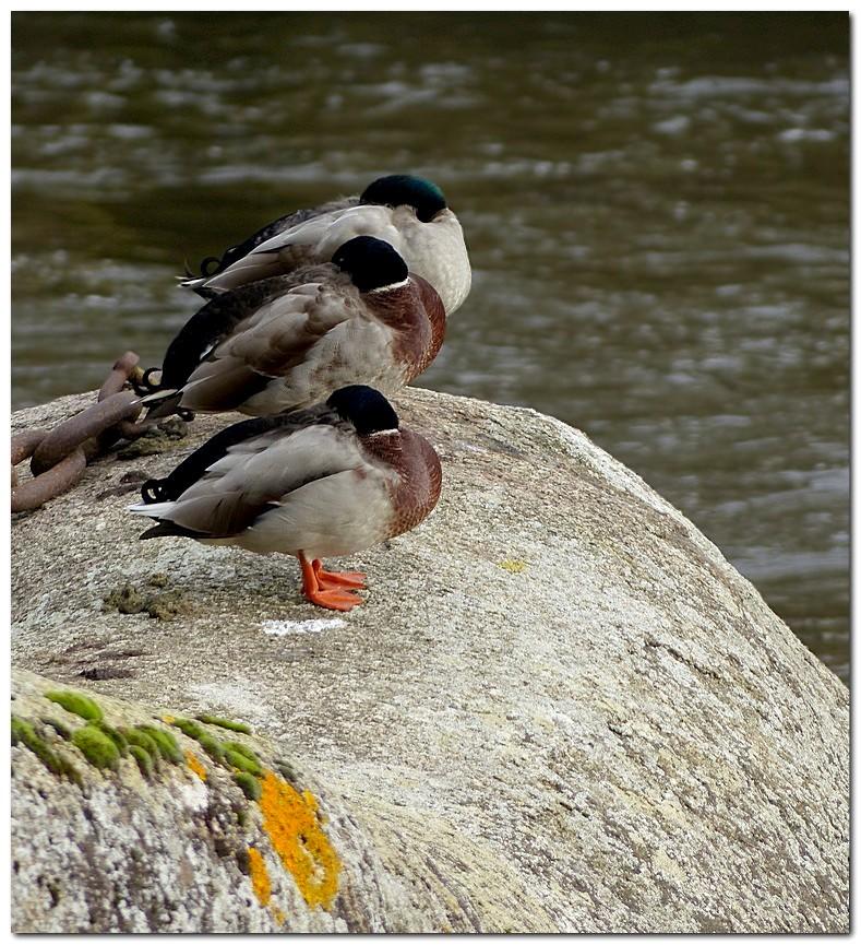 canard-colvert-po4.jpg