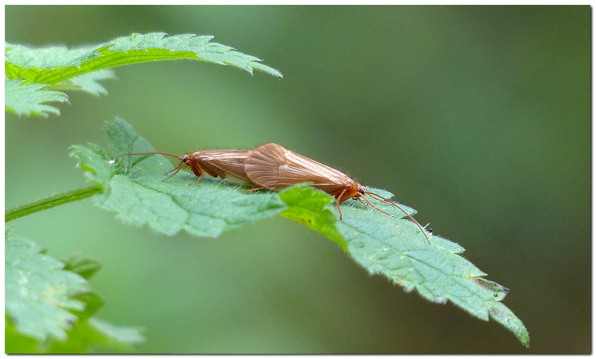 chaetopteryx-villosa-1.jpg