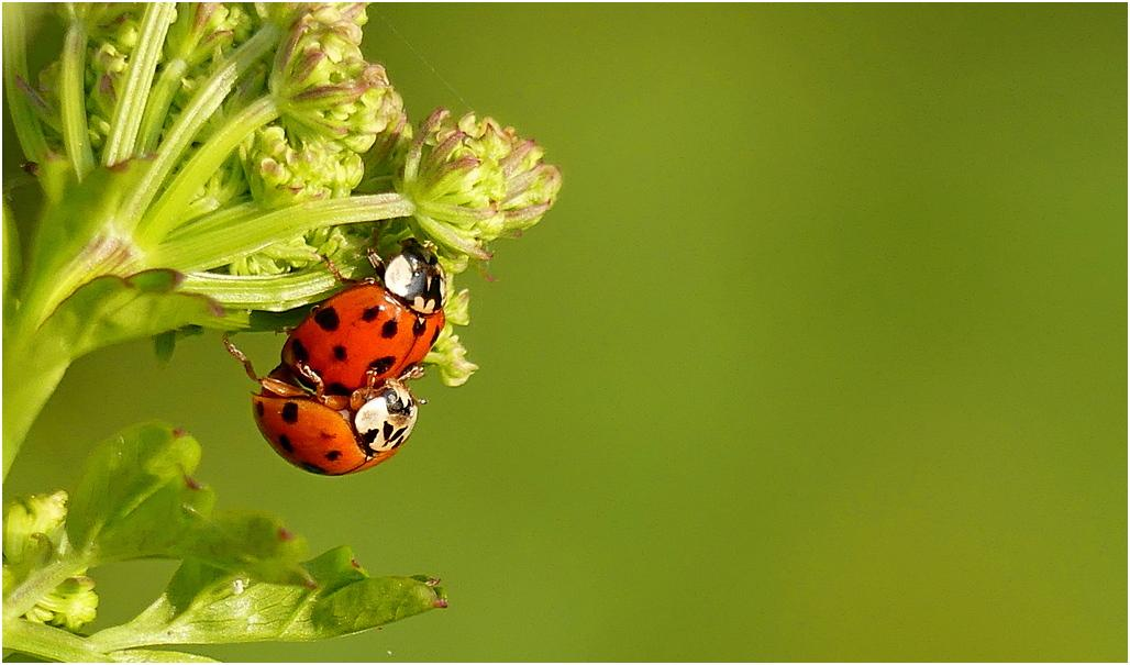 Coccinelle is2