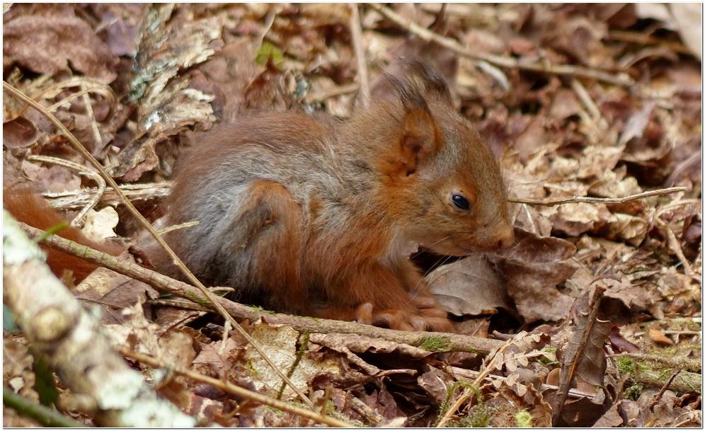 Ecureuil roux ca2
